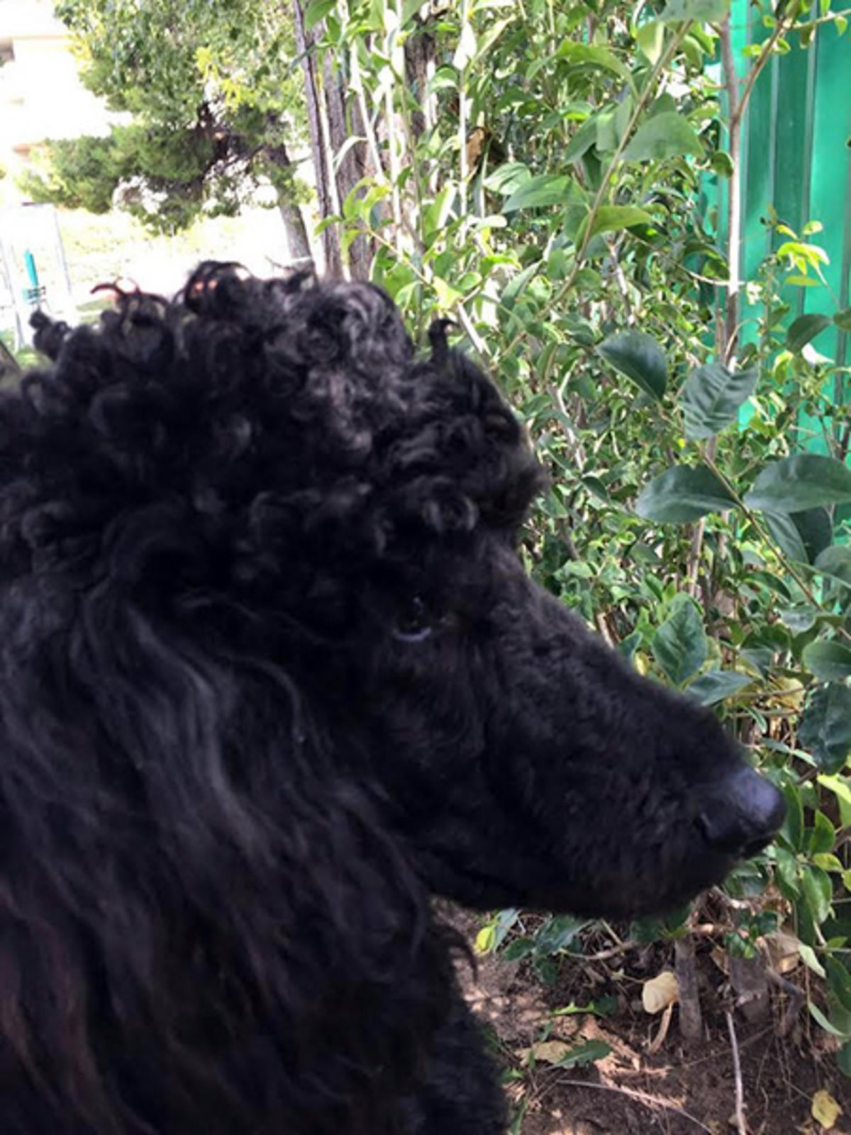 <b>Hugo</b>, Poodle, 4th Grade