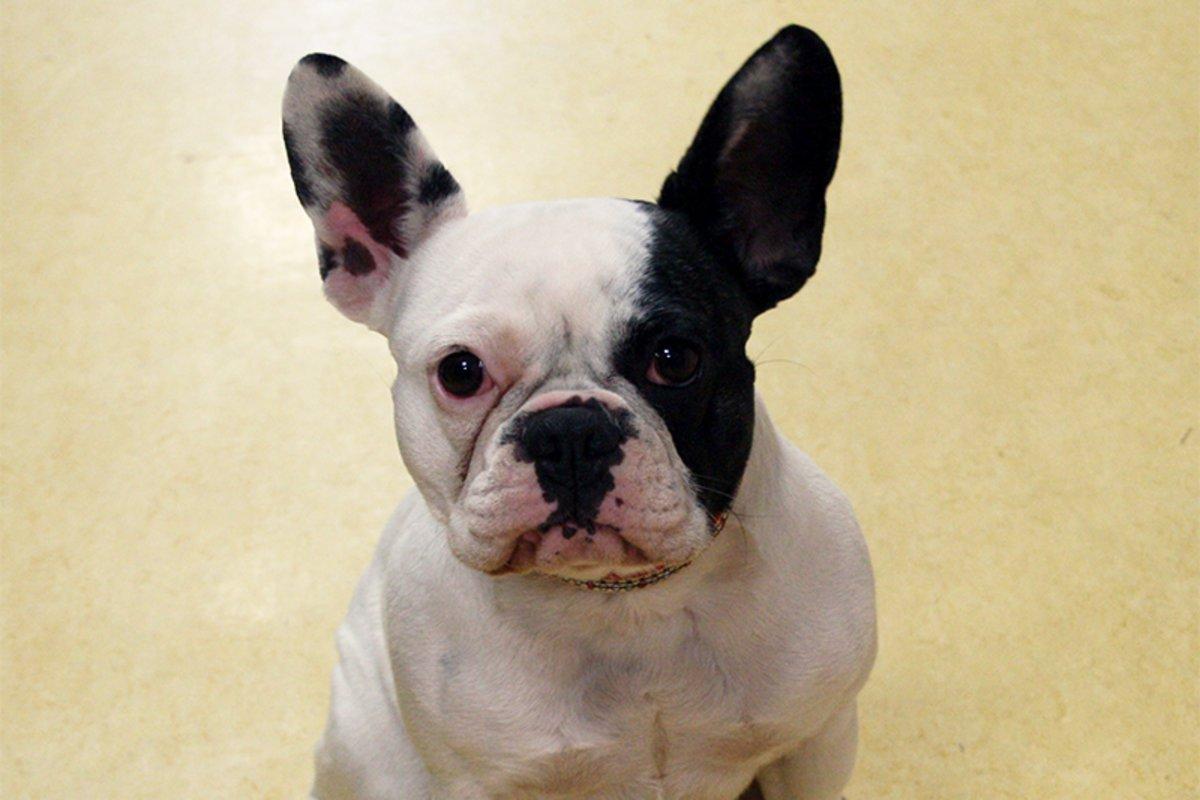 <b>Iro</b>, French Bulldog, 1st Grade