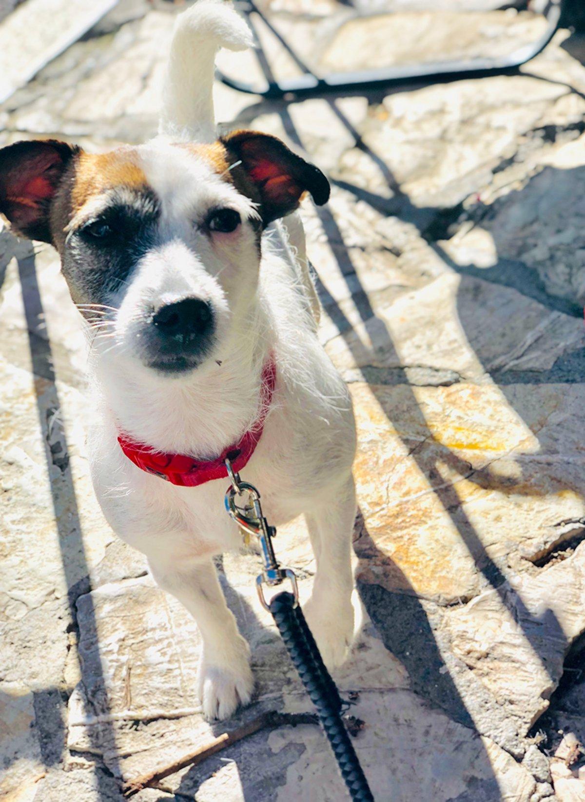<b>Peanut</b>, Jack Russell Terrier, 3rd Grade