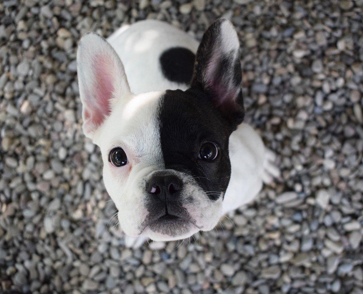 <b>Zoe</b>, French Bulldog, 4th Grade